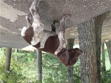 german shorthaired pointer puppies for sale in ga view ad german shorthaired pointer puppy for sale blairsville