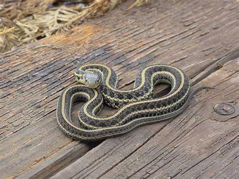 Garter Snake Juvenile Pictures Easternplainsgartersnake