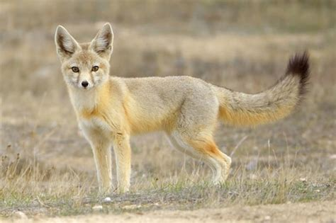 kit fox facts habitat diet life cycle baby pictures