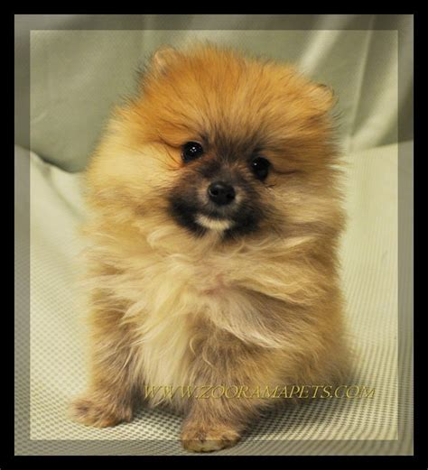 lhasa apso cross pomeranian pomeranian vs hair chihuahua breeds picture