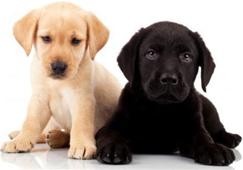 puppy facts for national puppy day puppy facts cape cod melody tent