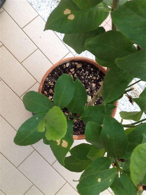 pianta di limoni in vaso cura il limone consigli per la cura verdeblog