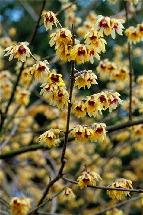 fragrant winter flowering shrubs 26 best images about fragrant winter flowering shrubs on