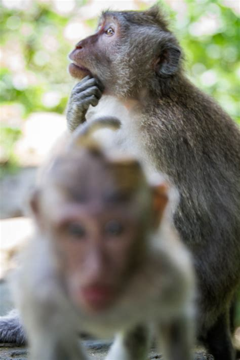 attacks baby only reason to visit ubud sacred monkey forest sanctuary minority nomad