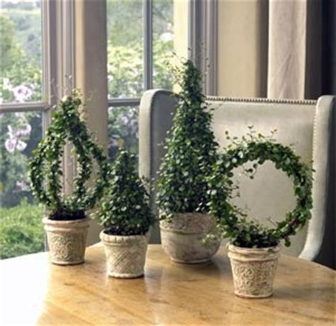 live rosemary topiary 25 best ideas about boxwood topiary on