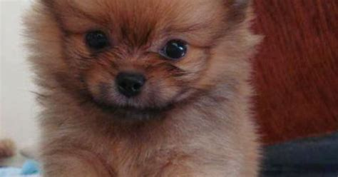 pomeranian puppies cost how much does a pomeranian puppy cost many puppy pictures