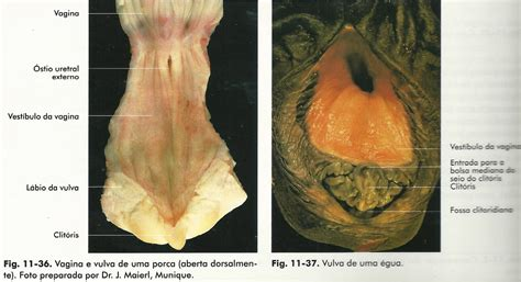 vestibulo feminino rosivaldo delfino sistema reprodutor feminino