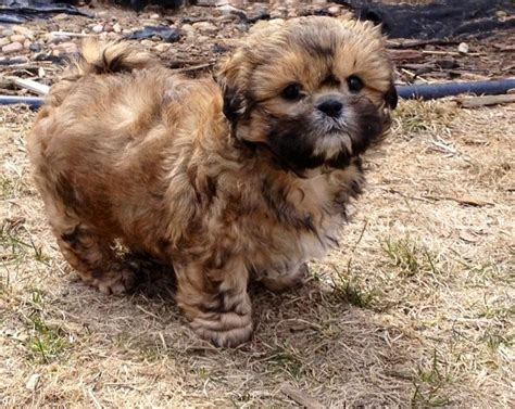 brindle shih tzu puppies shih tzu puppies for sale puppies for sale dogs for sale puppies breeds picture