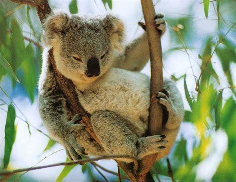 koala schlaf 1000 images about koalas on koalas koala