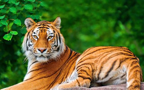 wallpaper 4k tiger tiger in a green forest 4k uhd wide wallpaper hd wallpapers