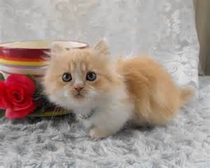 38 best images about munchkin cats on pinterest persian