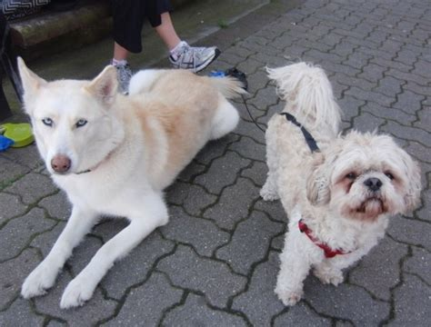 shih tzu and husky mix day isatas the shepherd husky and ddol ddol the shih tzu the dogs of