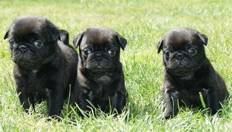 how much are black pug puppies black pug puppies black pug puppies pug puppys and black pug