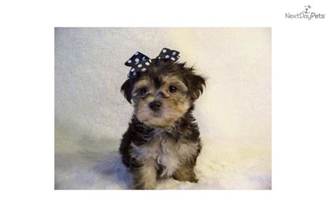 pictures yorkie poo puppies gray yorkie poo puppies gray yorkie poo puppies hairstylegalleries gray yorkie