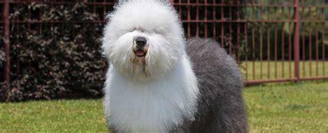 english sheepdog dog breed profile petfinder