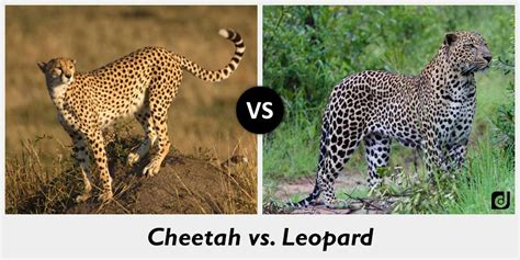 jaguar vs cheetah difference between cheetah and leopard