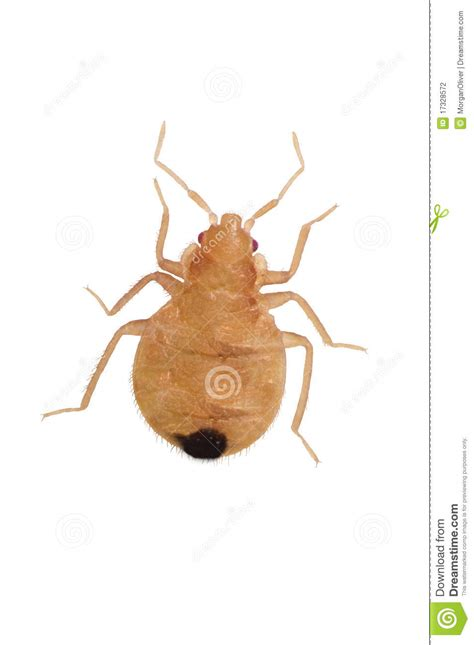 young bed bugs close up juvenile bedbugs stock photo image of young