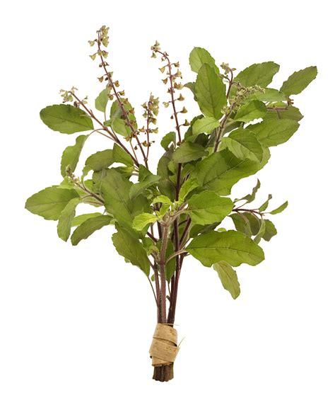 Tulsi Basil For by Tulsi India S Sacred Herb Holy Basil