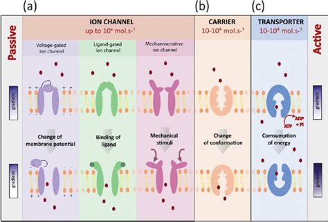 3 proteins in the cell membrane types of membrane proteins mediating translocation across