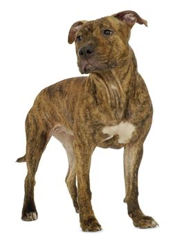 great dane pitbull puppies facts to before getting a great dane pit bull mix