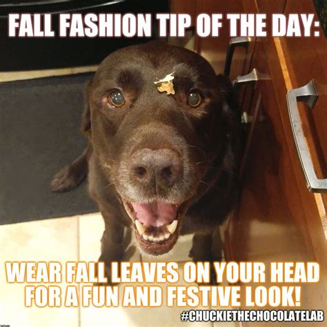 Chocolate Lab Meme - 17 best images about chuckie the chocolate lab on