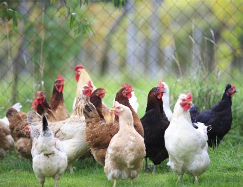 My Backyard Chicken Comprehensive Business Plan For Poultry Business Free Business Plans And Feasibility Studies