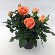 cura roselline in vaso roseto roseto caratteristiche