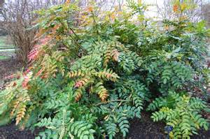 Purple Flowering Shrubs Australia - japanese mahonia landscape architect s pages