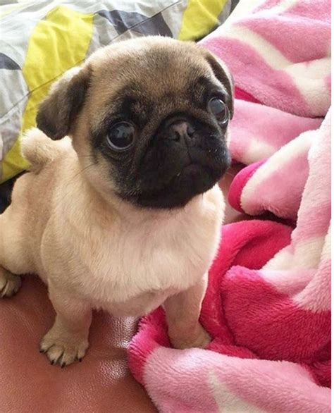 pug babies 25 best ideas about baby pugs on baby pugs pug puppies and pug