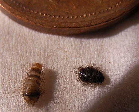 how many legs do bed bugs have black carpet beetle larvae