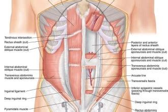 abdominal muscles diagram abdominal muscles 4 abdominal anatomy diagram