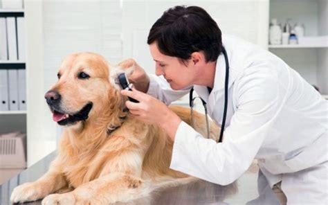imagenes de medicas veterinarias el m 233 dico veterinario como profesional del 193 rea de la