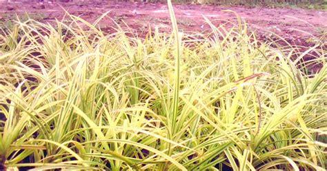 Bibit Kurma Kuning Benih Tanaman Pohon Kurma Kuning Bibit Buah Kurma pohon pandan kuning jual tanaman hias
