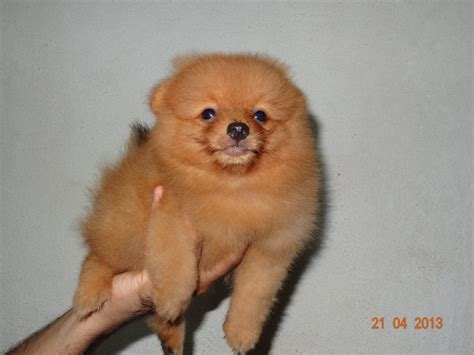 pomeranian price in malaysia pomeranian puppy sold 5 years 2 months quality orange pomeranian with mka from