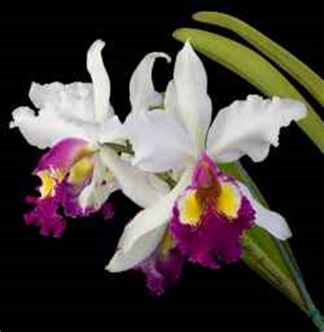 Cattleya Peony cattleya of the orchids the showy cattleya