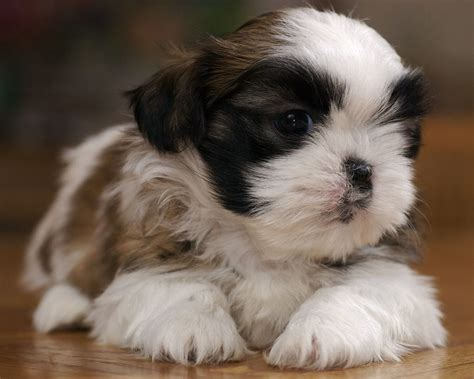 photo de shih tzu toilett brown shih tzu poodle puppiesbrown baby shih tzu bshih tzu