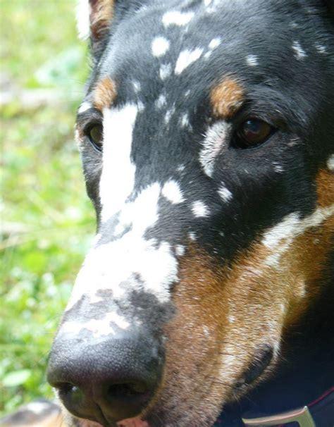 rottweiler with vitiligo