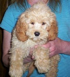 golden cocker retriever hypoallergenic hypoallergenic puppies on 41 pins on poodle mix poodles