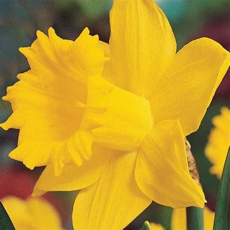brecks colossal daffodil brecksbulbs ca
