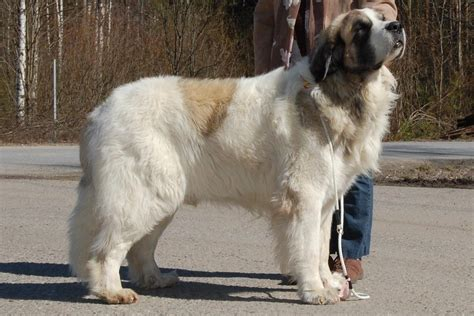 pyrenean mastiff puppies pyrenean mastiff with a owner photo and wallpaper beautiful pyrenean mastiff