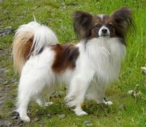 Papillon small dog breeds top dog directory