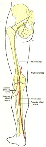 The Leg L by Anterior Tibial Artery