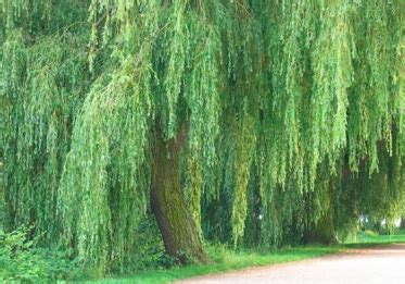 define tree weeping willow profile of a tree howstuffworks