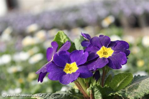 image for flowers purple primula flower picture flower pictures 5541