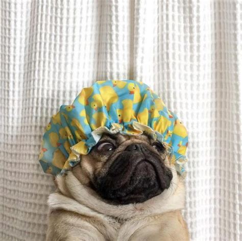 how often should you wash your pug science has spoken this is how often we should shower shemazing