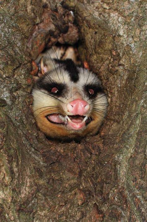 imagenes de animales faras comadreja el terror de las gallinas taringa