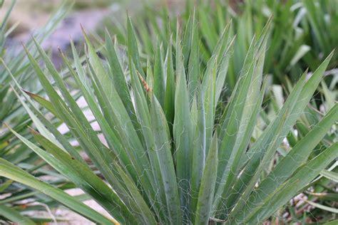 garten yucca schneiden f 228 dige palmlilie garten yucca yucca filamentosa pflege
