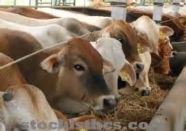 Suplemen Pakan Sapi cara membuat pakan fermentasi penggemukan sapi suplemen