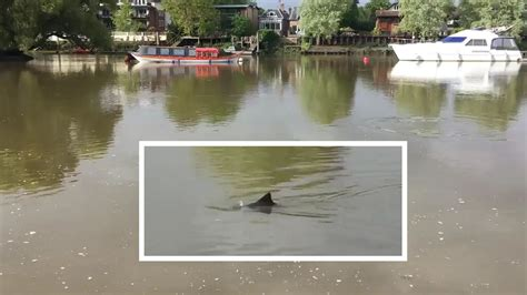 river thames underwater dolphin spotted swimming in the river thames by british