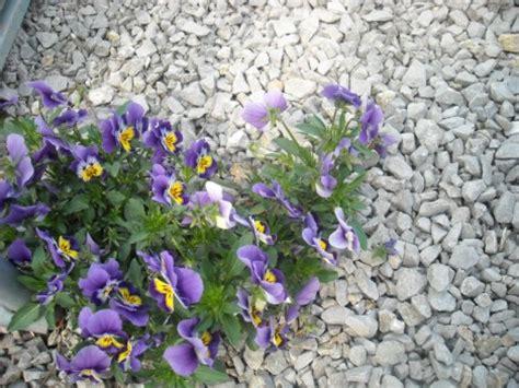 viole pensiero in vaso viola pensiero coltivazione